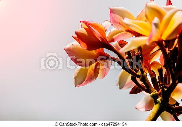 Pink plumeria on the plumeria tree in garden - csp47294134