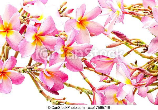 Beautiful pink plumeria flower isolated on a white stock pink plumeria csp17565719 mightylinksfo Choice Image
