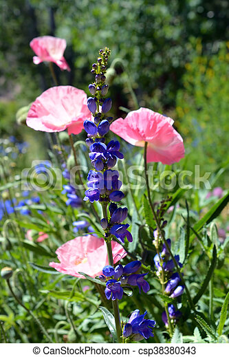 Pink poppies and purple flowers pink poppy flowers and a stalk of pink poppies and purple flowers csp38380343 mightylinksfo
