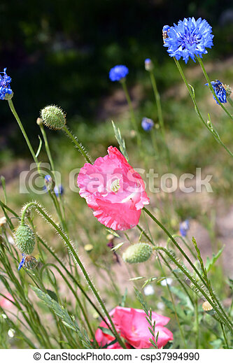 Pink Poppies In Field Pink Poppy Flowers Bloom In A Field