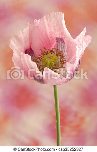 Pink Poppy Flower Close Up Of Poppy Flower With Fragile Pink Petals