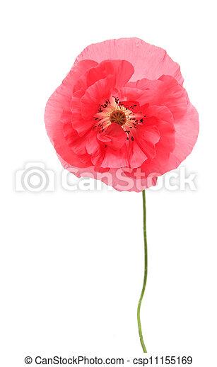 Pink poppy - csp11155169