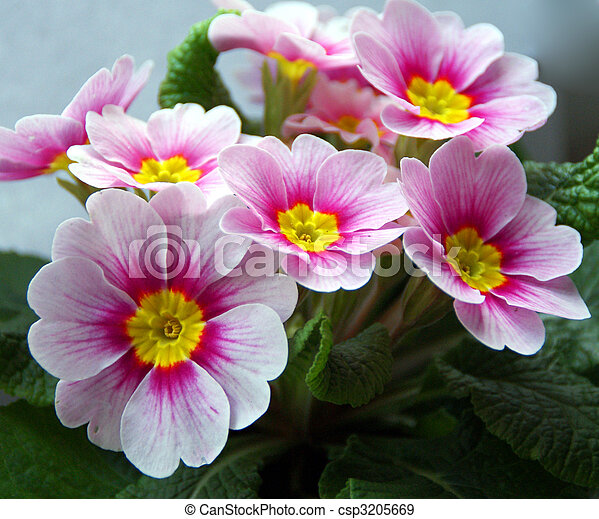 Pink primrose flowers a closeup of pink primrose primula vulgaris pink primrose flowers csp3205669 mightylinksfo