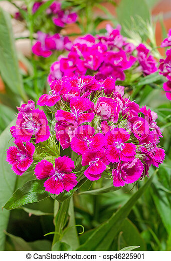 Pink Purple Dianthus Flowers With Green Leaves Close Up