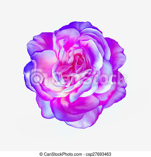 Pink Purple Rose Flower Isolated On White