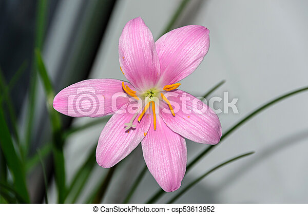 Pink purple zephyranthes flower close up isolated common names pink purple zephyranthes flower close up isolated common names for species in this genus include fairy rainflower zephyr and rain lily mightylinksfo