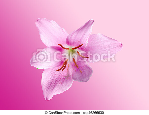 Pink Purple Zephyranthes Flower Close Up Isolated White