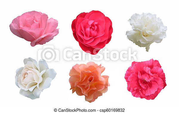 pink red white peach roses on white background pink red white peach roses set on white background can stock photo