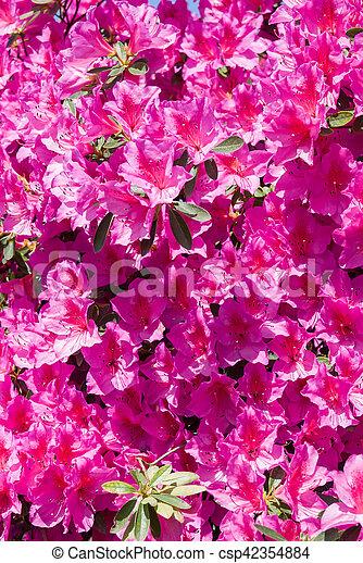 Pink rhododendron azalea flowers in bloom mediterranean pink azalea pink rhododendron azalea flowers in bloom csp42354884 mightylinksfo