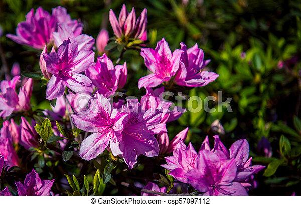pink rhododendron garden in Charleston - csp57097112