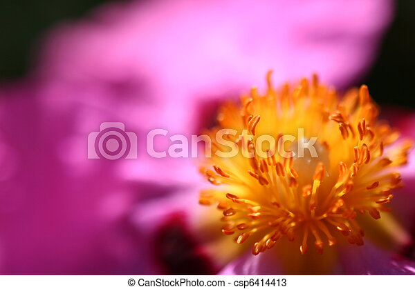 Pink Rockrose Cistus Purpureus Or Orchid Rockrose In Pink From A