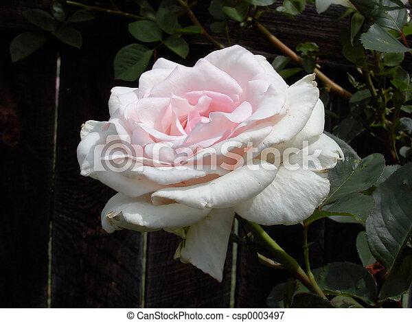 Pink Rose 2140 - csp0003497