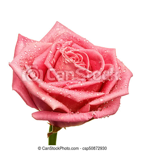 pink rose head isolated on white background - csp50872930