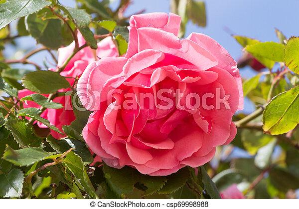 Pink rose in a garden - csp69998988