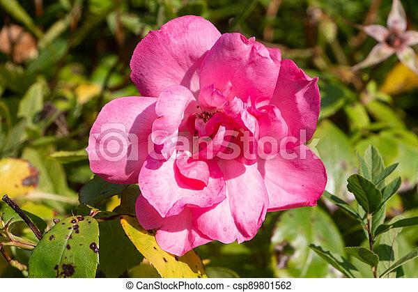 Pink rose in a garden - csp89801562