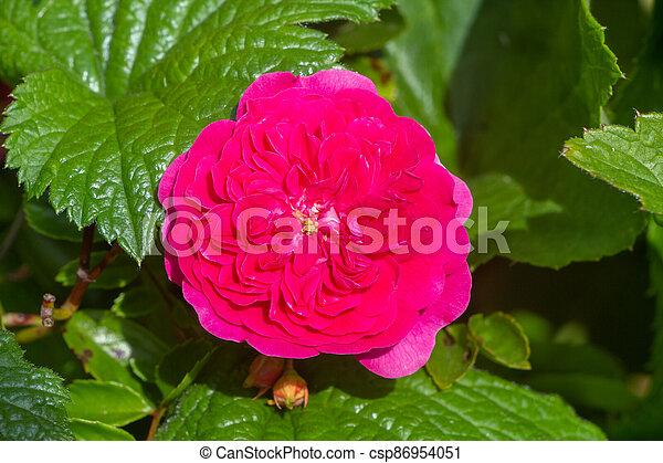 Pink rose in a garden - csp86954051