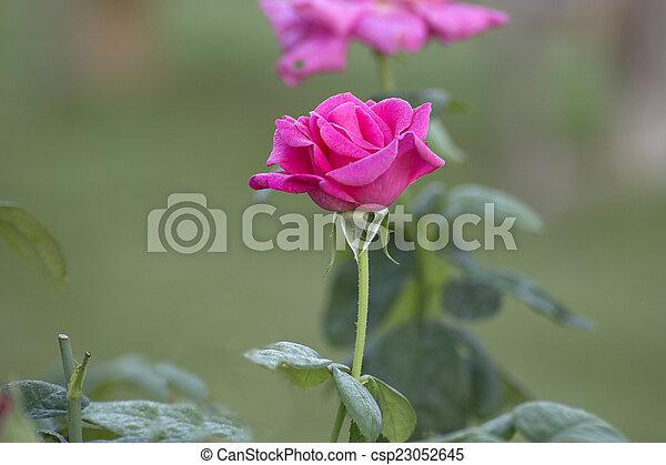 pink rose in a garden - csp23052645