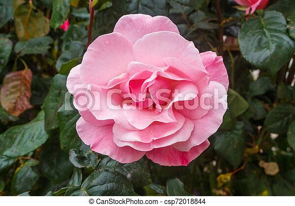 Pink rose in a garden - csp72018844