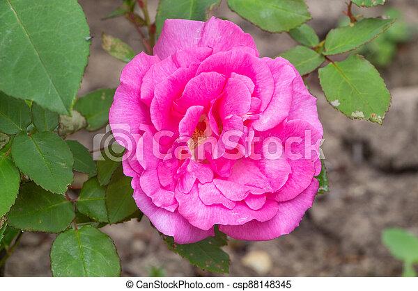 Pink rose in a garden - csp88148345