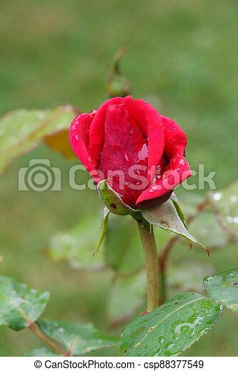 Pink rose in a garden - csp88377549