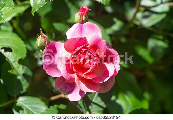 Pink rose in a garden - csp85523194