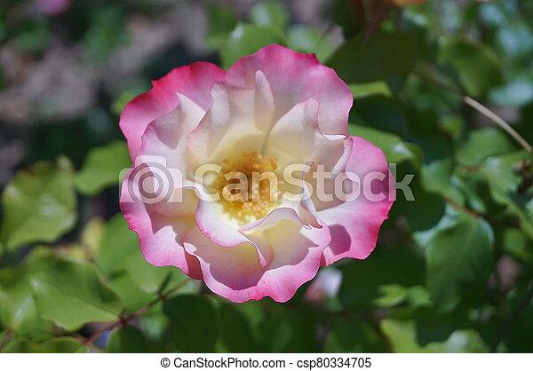 Pink rose in a garden - csp80334705