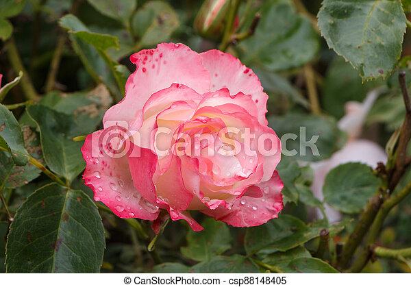 Pink rose in a garden - csp88148405
