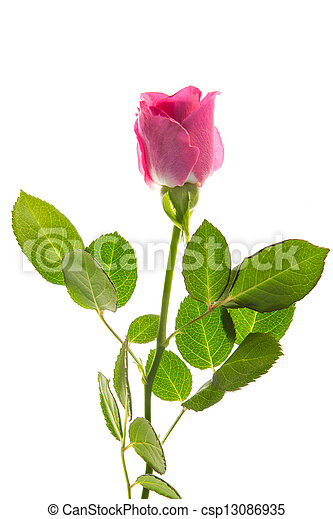 Pink rose in bloom with stalk and leaves - csp13086935
