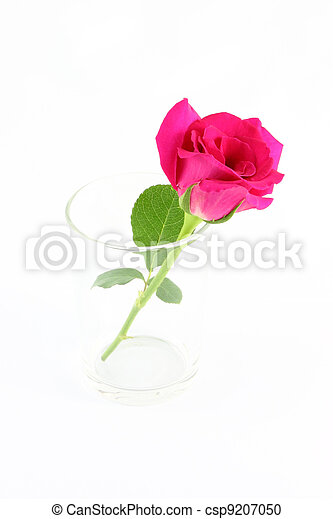 Pink rose in glass on white background. - csp9207050