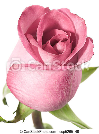 Pink rose on a white background. - csp5265148