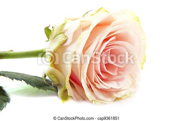 Pink rose - csp9361851