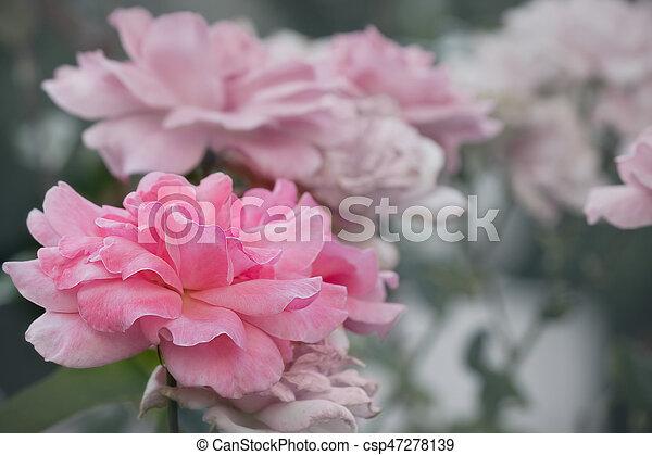 pink rose - csp47278139