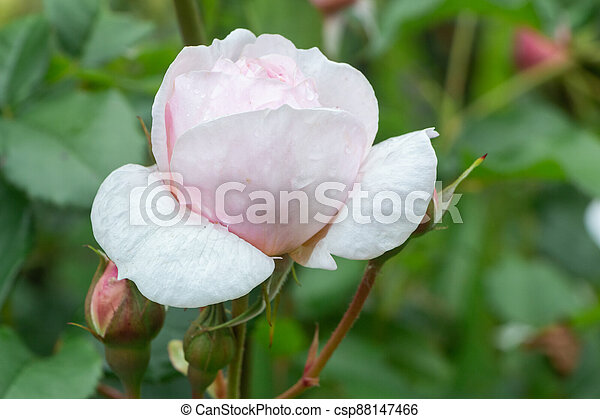 Pink rose with dewdrops in a garden - csp88147466