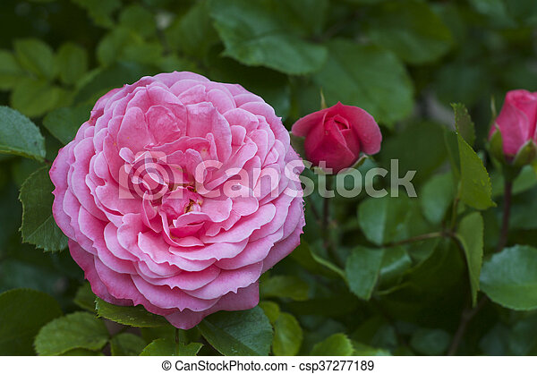 Pink rose with drops of dew in the garden - csp37277189
