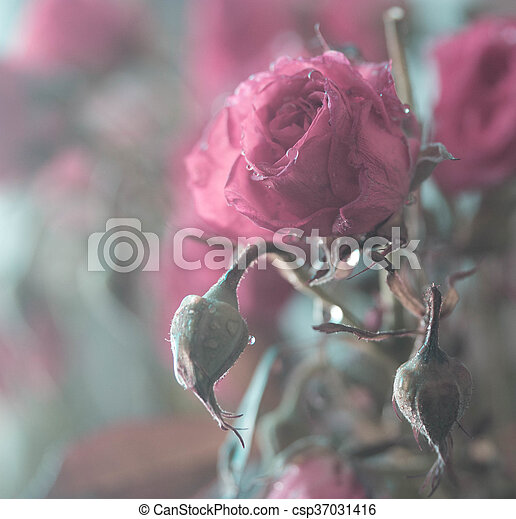 pink rose with water drops - csp37031416