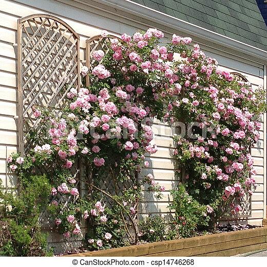 Pink Roses Growing On Trellis