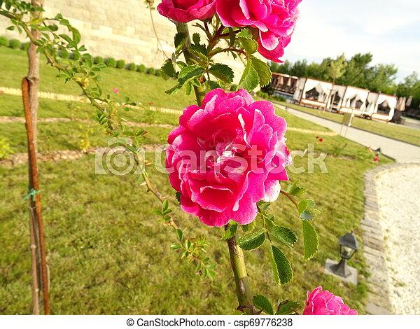 Pink Roses in a Garden - csp69776238
