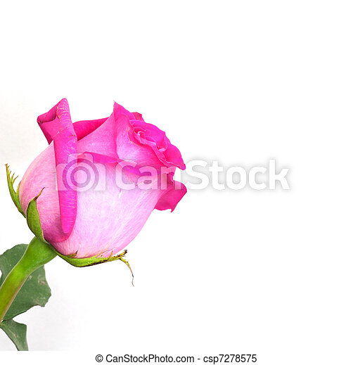 pink roses on a white background with space for text - csp7278575