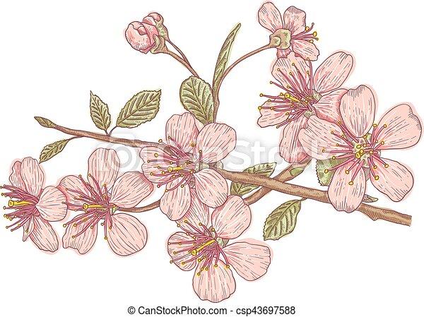 Pink Sakura Blossom Vintage Vector Illustration Flowers Of The