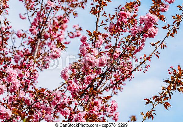 Pink Sakura Cherry Tree Flowers Blossom In Spring - csp57813299