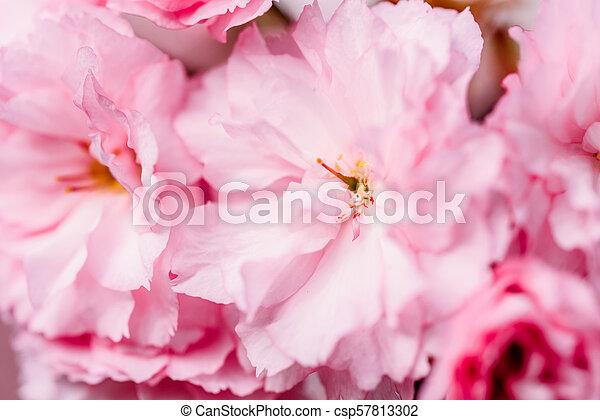 Pink Sakura Cherry Tree Flowers Blossom In Spring - csp57813302