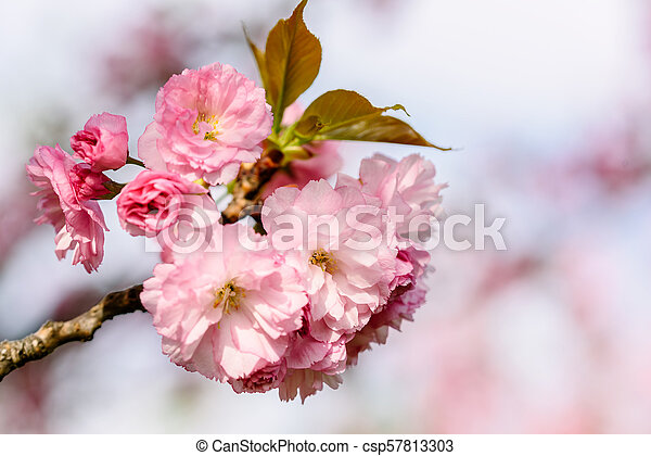 Pink Sakura Cherry Tree Flowers Blossom In Spring - csp57813303