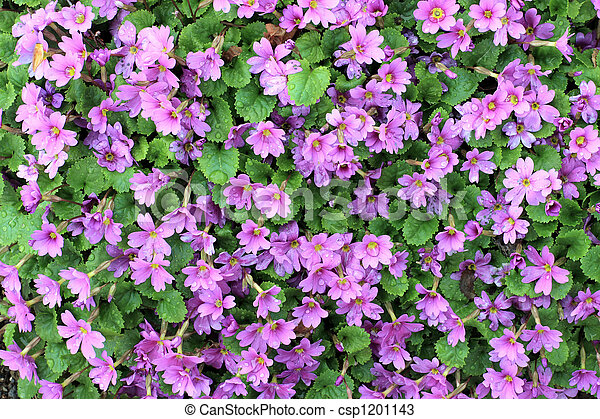 Pink shrub a bunch of pink flowers growing on a small shrub pink shrub csp1201143 mightylinksfo