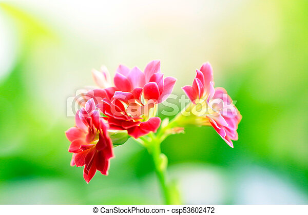 Lovely pink small flowers of a house plant pink small flowers csp53602472 mightylinksfo