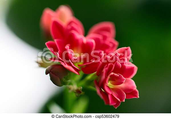 Lovely pink small flowers of a house plant pink small flowers csp53602479 mightylinksfo