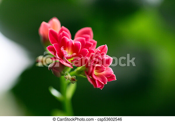 Lovely pink small flowers of a house plant stock photo search pink small flowers csp53602546 mightylinksfo
