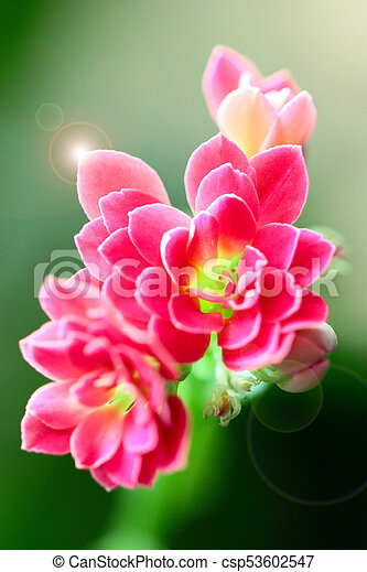 Lovely pink small flowers of a house plant pink small flowers csp53602547 mightylinksfo