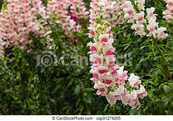 Pink snapdragon flowers in bloom pink and white snapdragon stock pink snapdragon flowers in bloom csp31274205 mightylinksfo