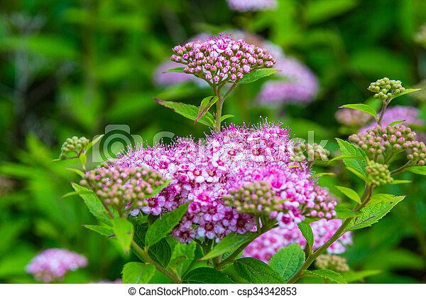 Pink spirea flowers pink spirea flowers csp34342853 mightylinksfo