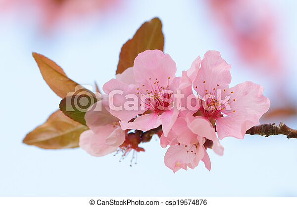 Pink springtime blossom with a blurred background - csp19574876